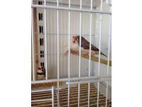 Zebra finches for sale 12 pounds a pair