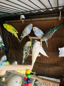 Budgie and Cockatiel for Sale