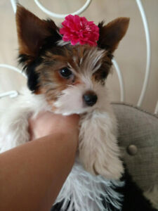 Mini Biewer Yorkshire /yorkie terrier female puppy