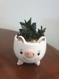 Succulent plant in cute ceramic pot