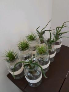 Air plants in pretty glass pots.. soak in water once a week