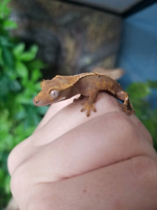 Crested gecko and exoterra