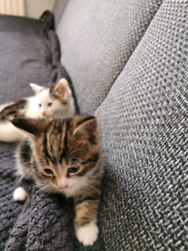 BEAUTIFUL KITTENS TABBY AND WHITE.