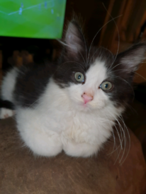 Gorgeous fluffy male kitten