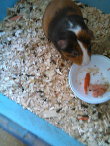 Guinea Pigs for sale various ages and colors