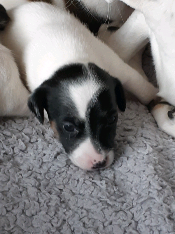 1 handsome male Jack Russell puppy for sale | in Doncaster, South Yorkshire  | Gumtree