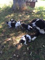 Blue Heeler Border Collie Cross Pups