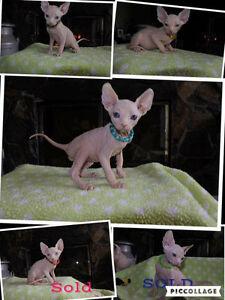 White Sphynx Kittens