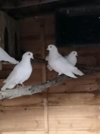 White doves.. FREE. FREE