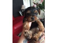 beautiful yorkshire terrier puppys !! one remaining!!