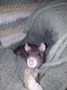 3 month old female rats