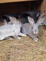 Flemish Giant Cross Rabbits For Sale