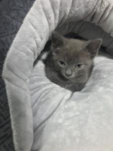 Missing Russian Blue Kitten December 13