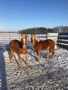 Haglinger Horse Gelding Team