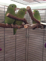 Pacific Parrotlets for sale + cages available