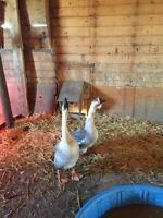Breeding Pair of Chinese Geese $80 OBO