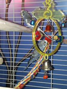 Male/Female budgies come with cage/food/toys
