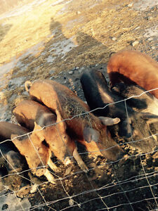 Large black & Tamworth Sows for sale