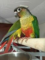 Hand Tame Green Cheek Conures