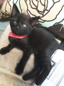 Kitten 8weeks old male black