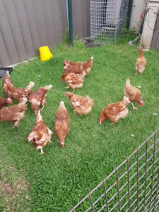 Isabrown chickens