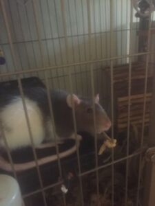 Free female rat + cage (april)