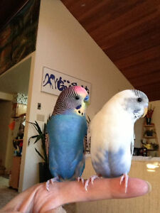 Pair of budgies w/cage
