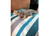 9 months old bearded dragon, large vivarium and accessories