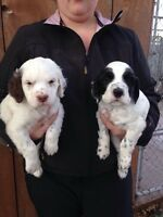 CKC and FDSB Registered Llewellin (English) Setter Puppies