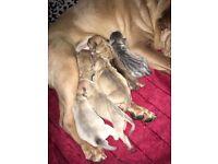 😍 **Beautiful Sharpie Puppies** 😍