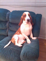 3 Year old INTACT Male Basset Hound