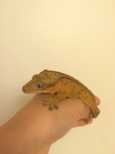 Adult female crested gecko for sale!
