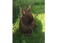 2 x Netherland dwarf bunnies