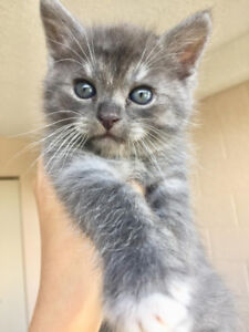 Exotic silver Persian and Russian Blue mix.