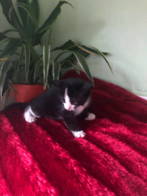 Selling for kittens male and female mix British shorthair