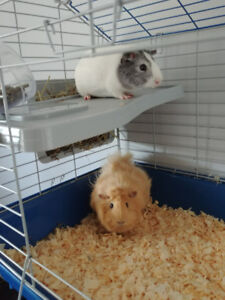 Pair of Wonderful Guinea Pigs for Sale