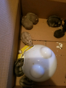 Winter white Hamsters to give away.