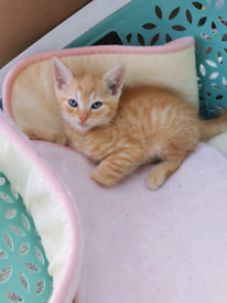 3 gorgeous male kittens- ONLY GINGER ONE AVAILABLE