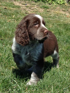 CKC registered English Springer Spaniel 2 year Health Guarantee