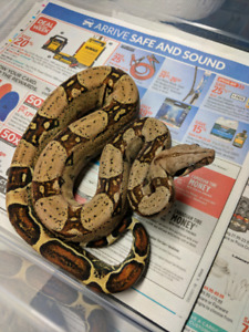 2017 & 2018 Boa Constrictors left Available