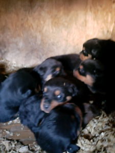 Rottweiler Adopt Dogs Puppies Locally In Alberta Kijiji