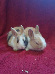 Dutch bunny rabbit's for sale,