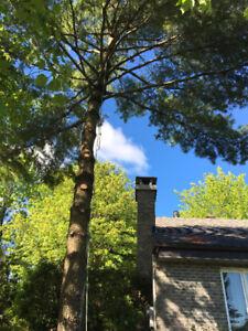 Élagage, abattage arbres, taille haie de cèdres - URGENCE 24/7