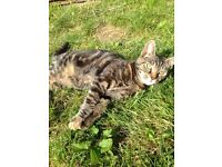 20 week old female tortoiseshell/Tabby kitten for sale
