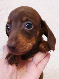 Miniature dachshund | Dogs & Puppies for Sale - Gumtree