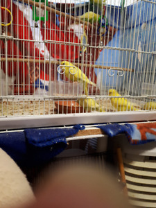 SALE!  10 DAYS ONLY  - Baby Budgies