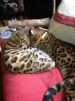 PUREBRED ROSETTED BEAUTIFUL BENGALS