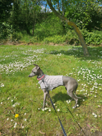 Female Italian greyhound