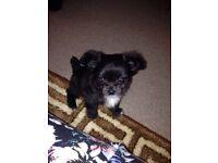 8week old chihuahua girl