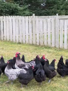 BBS Australorp chicks for sale